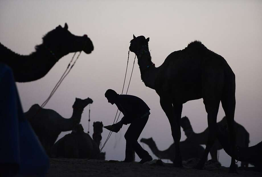 A man tends to his camels for sale on the outskirts of the small town of Pushkar in the early evening of November 20, 2012.   The annual five-day camel and livestock fair, held in the town of Pushkar in the state of Rajasthan is one of the world's largest camel fairs, and apart from buying and selling of livestock it has become an important tourist attraction. Photo: Roberto Schmidt, AFP/Getty Images