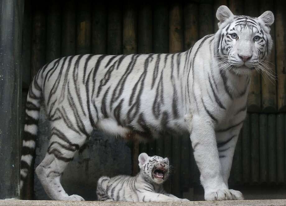 FILE - In this Monday, Sept. 3, 2012 file photo, a rare white Indian tiger cub sits at the feet of its mother Surya Bara at a zoo in the city of Liberec, Czech Republic. An official says a rare white tiger has attacked employees in a Czech zoo after escaping from its enclosure. The incident occurred Thursday Nov. 22, 2012 in the zoo of the northern city of Liberec. (AP Photo/Petr David Josek, File) Photo: Petr David Josek, Associated Press