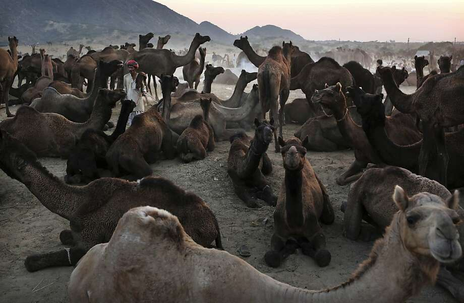 In this picture taken Wednesday, Nov. 21, 2012, an Indian camel herder stands amongst his herd at the annual Pushkar Fair in Pushkar, Rajasthan, India. The annual camel and livestock fair attracts thousands of livestock dealers who bring thousands of camels, horses, and cattle. (AP Photo/Kevin Frayer) Photo: Kevin Frayer, Associated Press