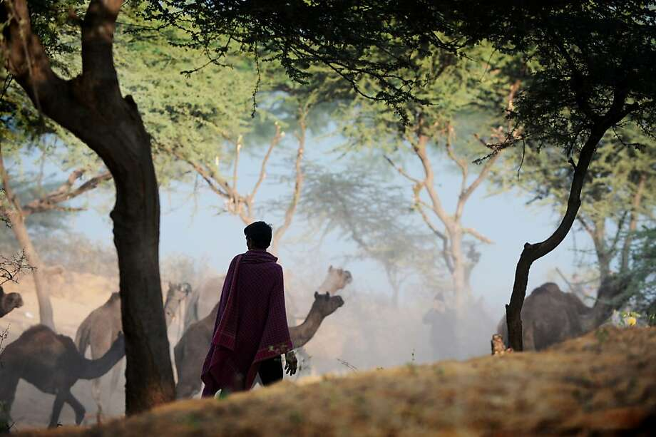 A herder watches his flock of camels come down a dusty embankment as he heads to the camel fair grounds in the outskirts of the small town of Pushkar on November 22, 2012. Thousands of livestock traders from the region come to the traditional camel fair where livestock but mainly camels are traded. The annual five-day camel and livestock fair is one of the world's largest camel fairs.  AFP PHOTO/Roberto SchmidtROBERTO SCHMIDT/AFP/Getty Images Photo: Roberto Schmidt, AFP/Getty Images