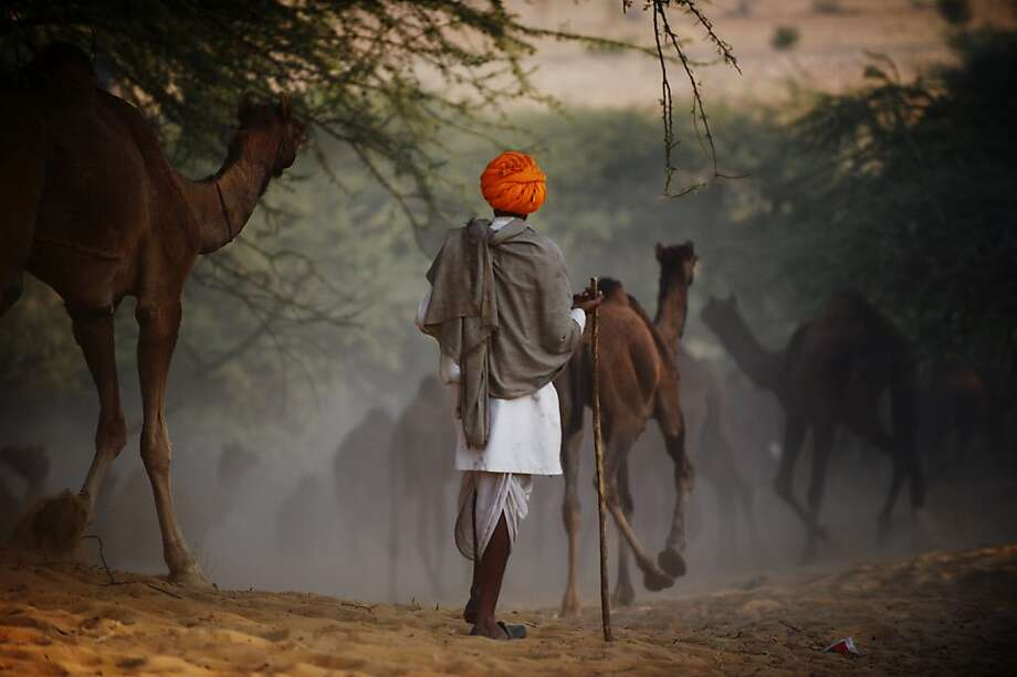 A herder follows his camels down a sandy embankment as they make their way to the camel fair grounds in the outskirts of the small town of Pushkar on November 22, 2012. Thousands of livestock traders from the region come to the traditional camel fair where livestock but mainly camels are traded. The annual five-day camel and livestock fair is one of the world's largest camel fairs.  AFP PHOTO/Roberto SchmidtROBERTO SCHMIDT/AFP/Getty Images Photo: Roberto Schmidt, AFP/Getty Images