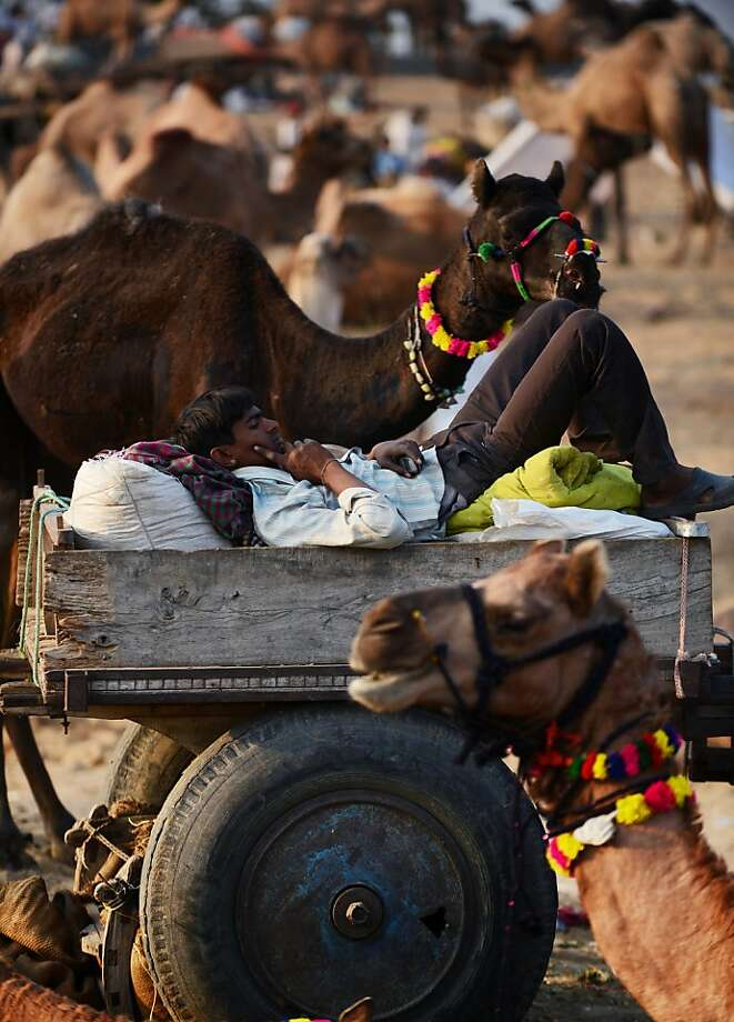 An Indian man lies on a cart as he keeps an eye on his camels for sale in a field at the camel fair grounds in the outskirts of the small town of Pushkar on November 21, 2012. Camel owners adorn their animals in an effort to make them more attractive to potential buyers. Thousands of livestock traders from the region come to the traditional camel fair where livestock but mainly camels are traded. This annual five-day camel and livestock fair is one of the world's largest camel fairs.  AFP PHOTO/Roberto SchmidtROBERTO SCHMIDT/AFP/Getty Images Photo: Roberto Schmidt, AFP/Getty Images