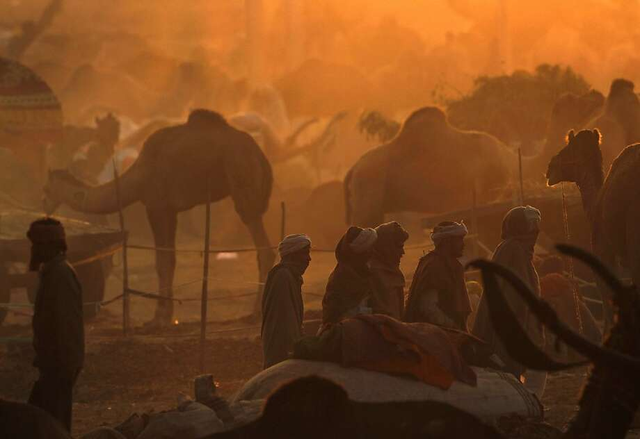Camels are seen early morning at the annual cattle fair in Pushkar, Rajasthan, India, Thursday, Nov. 22, 2012. The annual camel and livestock fair attracts thousands of livestock dealers who bring thousands of camels, horses, and cattle. (AP Photo/Rajesh Kumar Singh) Photo: Rajesh Kumar Singh, Associated Press