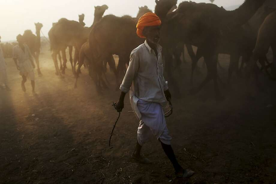 Indian camel herders lead their herd to the annual Pushkar Fair in Pushkar, Rajasthan, India, Thursday, Nov. 22, 2012. The annual camel and livestock fair attracts thousands of livestock dealers who bring thousands of camels, horses, and cattle. (AP Photo/Kevin Frayer) Photo: Kevin Frayer, Associated Press