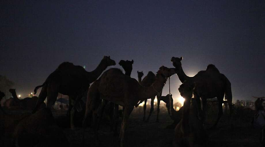 Camels stand at the Pushkar Fair in Pushkar, Rajasthan, India, Thursday, Nov. 22, 2012. The annual camel and livestock fair attracts thousands of livestock dealers who bring thousands of camels, horses, and cattle. (AP Photo/Rajesh Kumar Singh) Photo: Rajesh Kumar Singh, Associated Press