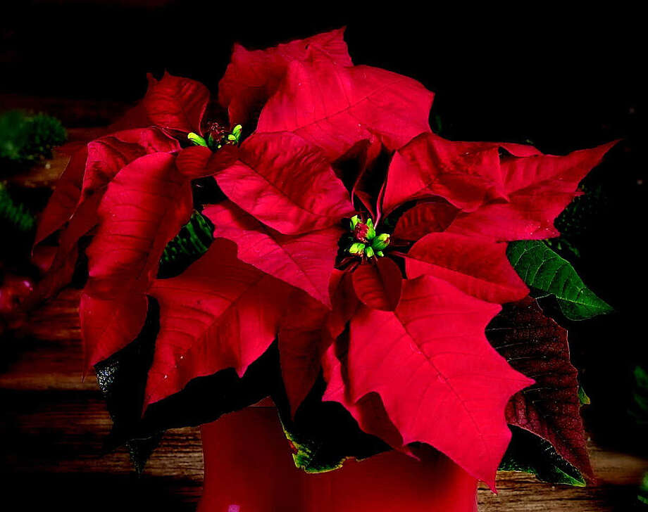 Poinsettias like sunny spots that aren't drafty. Photo: Courtesy Photo