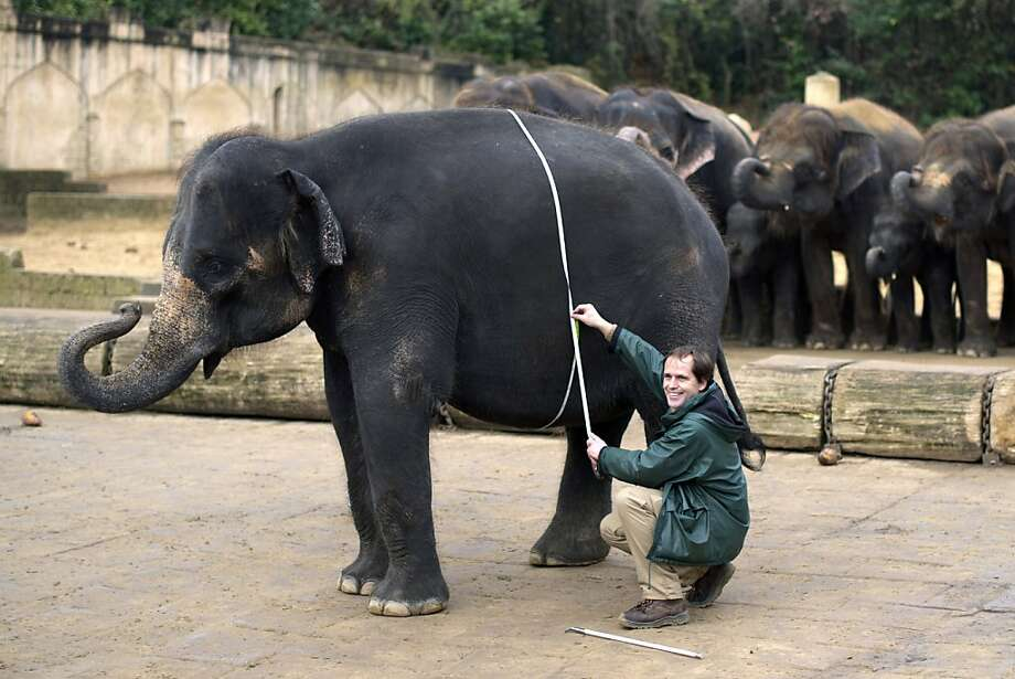 There goes my hourglass figure:A keeper measures pregnant Califa's belly at the Hanover Zoo in Germany. Photo: Emily Wabitsch, AFP/Getty Images