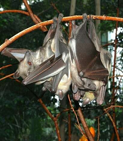Some eight million straw-colored fruit bats, seen here in captivity, fly from the Congo to Zambia in late fall in the world's largest mammal migration. Photo: Fritz Geller-Grimm