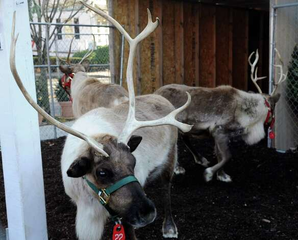 Reindeer relax at McArdle's Florist and Garden Center in Greenwich as part of the fourth annual Grenwich Reindeer Fetival and Santa's Workshop on Friday, September 23, 2012. The event ends Christmas Eve, December 24, 2012. Photo: Lindsay Niegelberg / Stamford Advocate
