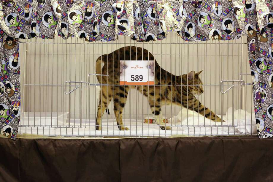 A cat named 'Peter Purrfect' stretches before being exhibited at the Governing Council of the Cat Fancy's 'Supreme Championship Cat Show' held in the NEC on November 24, 2012 in Birmingham, England. Photo: Oli Scarff, Getty Images / 2012 Getty Images
