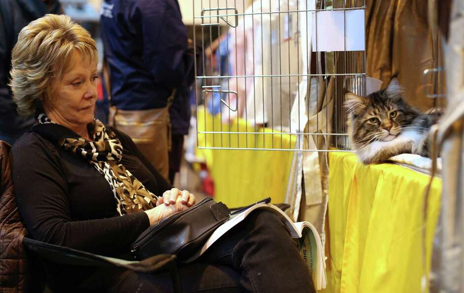 A cat named 'Mr Bojangles' sits with his owner as he awaits to be exhibited.