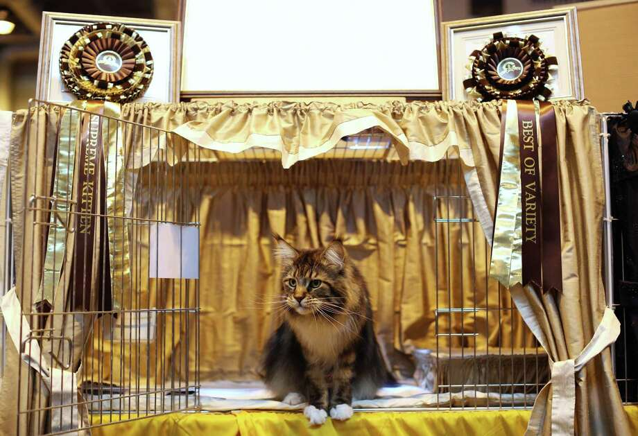A cat named 'Mr Bojangles' awaits to be exhibited. Photo: Oli Scarff, Getty Images / 2012 Getty Images