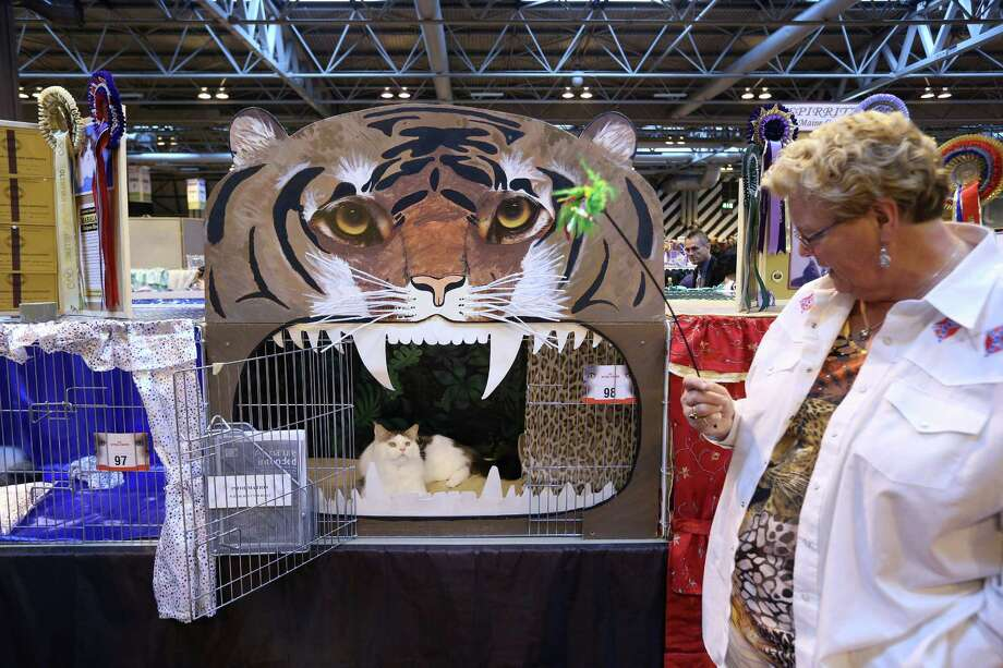 A cat named 'Bostin Buddy' looks towards its owner Heather Horton before being exhibited. Photo: Oli Scarff, Getty Images / 2012 Getty Images