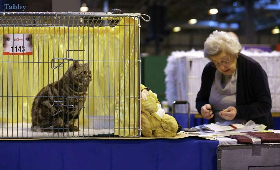 A cat named 'Wellmar Otto' sits at the Governing Council of the Cat Fancy's 'Supreme Championship Cat Show' held in the NEC on November 24, 2012 in Birmingham, England. Photo: Oli Scarff, Getty Images / 2012 Getty Images