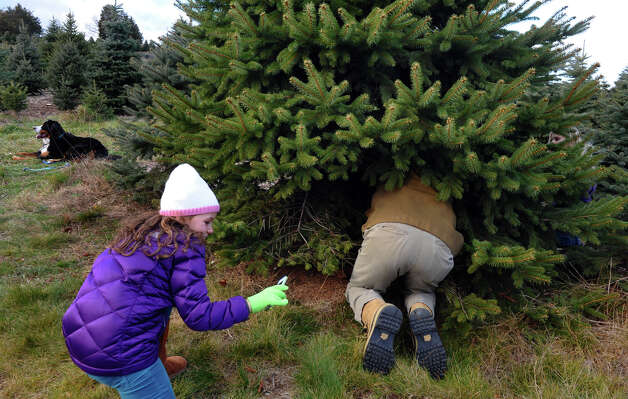 Charlotte Reid, 8, of Darien, films her father Doug with her iPhone as he attempts to cut down the Christmas tree the family has chosen at Jones Family Farm in Shelton, Conn. on Saturday November 24, 2012. Photo: Christian Abraham / Connecticut Post