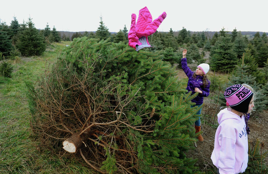 Charlotte Reid, of Darien, tosses her sister Brigitte's jacket onto the tree the family has chosen to take home while at at Jones Family Farm in Shelton, Conn. on Saturday November 24, 2012. Photo: Christian Abraham / Connecticut Post