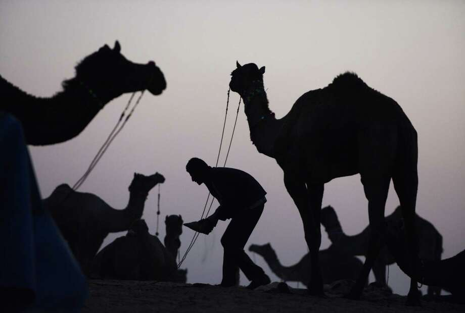 A man tends to his camels for sale on the outskirts of the small town of Pushkar in the early evening of November 20, 2012.   The annual five-day camel and livestock fair, held in the town of Pushkar in the state of Rajasthan is one of the world's largest camel fairs, and apart from buying and selling of livestock it has become an important tourist attraction. Photo: ROBERTO SCHMIDT, AFP/Getty Images / AFP