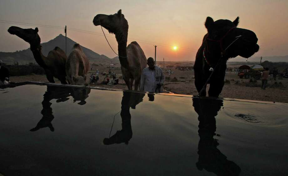 Camels stand by a water tank during the annual cattle fair in Pushkar, Rajasthan, India.  Pushkar, located on the banks of Pushkar Lake, is a popular Hindu pilgrimage spot that is also frequented by foreign tourists who come to the town for the annual cattle fair and camel races. Photo: Rajesh Kumar Singh, Associated Press / AP
