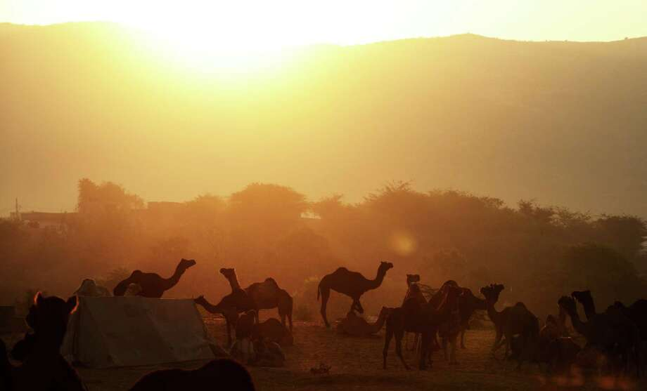 Camels for sale stand in a field at sunrise at the camel fair grounds in the outskirts of the small town of Pushkar on November 23, 2012.  Thousands of livestock traders from the region come to the traditional camel fair where livestock, mainly camels, are traded. This annual five-day camel and livestock fair is one of the world's largest camel fairs. Photo: ROBERTO SCHMIDT, AFP/Getty Images / AFP