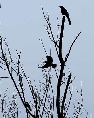 Several Great-Tailed Grackles perch in a tree at the Southern end of Lake Merced on Wednesday Nov. 21, 2012, in San Francisco, Calif. The mysterious flying aliens known as Devil Birds have been spotted in San Francisco's Lake Merced. The Great-Tailed Grackle has expanded its breeding range into the San Francisco Bay Area. Photo: Michael Macor, The Chronicle