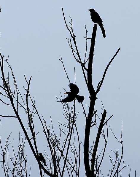 Several Great-Tailed Grackles perch in a tree at the Southern end of Lake Merced on Wednesday Nov