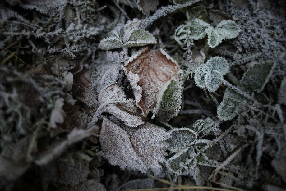Leaves covered with frost are seen in a garden in Peremilovo village, 63 kilometers (40 miles) north of Moscow, Russia, Saturday, Nov. 24, 2012. The temperature in Moscow region dropped down to -1 degree Celsius (31 degree Fahrenheit). (AP Photo/Alexander Zemlianichenko) Photo: Alexander Zemlianichenko, Associated Press