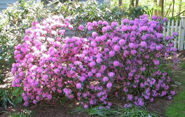 Colorful PJM Rhododendron lights up the early spring garden. Photo: Contributed Photo