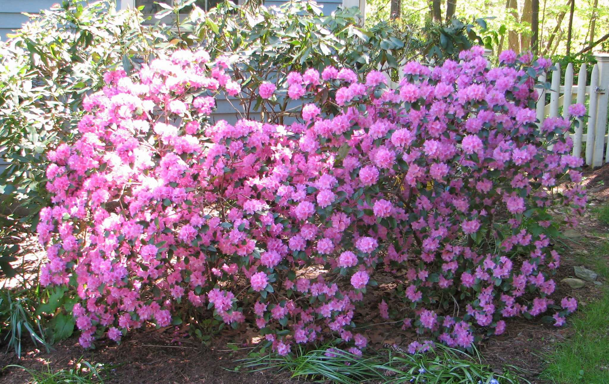 Flowering Shrubs Can Fit The Bill Newstimes