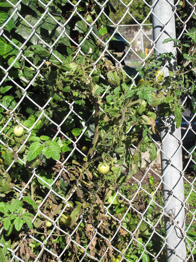 Oak Street, Nov. 23, 2012; plant pokes through fence  (Leah Garchik)