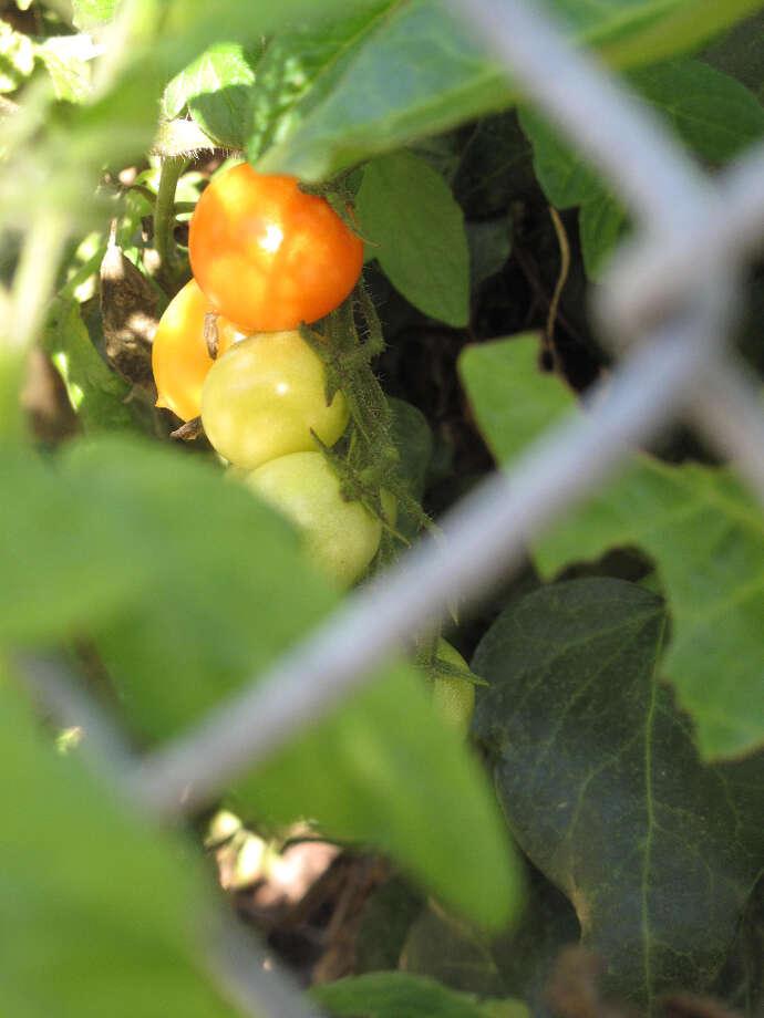 Oak Street, Nov. 23, 2012; ripe and ready (Leah Garchik)