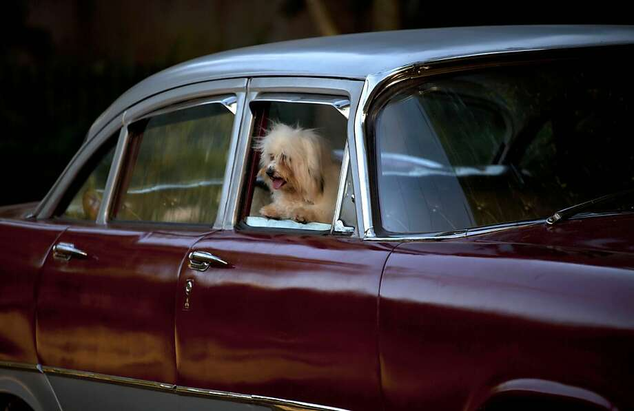 Bichon wheels:A dog named April Ferher peers from the window of a vintage auto before competing in the Fall Canine Expo in Havana, Cuba. April is a Bichon habanero (Bichon Havanese), a breed that has been bred on the island since the 17th century and is known for its springy gait. Photo: Ramon Espinosa, Associated Press