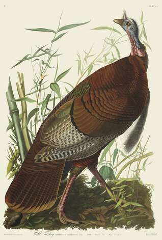 """Wild Turkey"" (New-York Historical Society Edition), a watercolor painting by the late famous ornithologist and painter John James Audubon, is on view in ""Exploring Audubon's Art -- Comparing Audubon's Watercolors and Print Editions."" The exhibition, the first at the recently-established Oppenheimer Gallery at Audubon Greenwich, features various editions of Audubon's bird paintings. Photo: Contributed Photo"