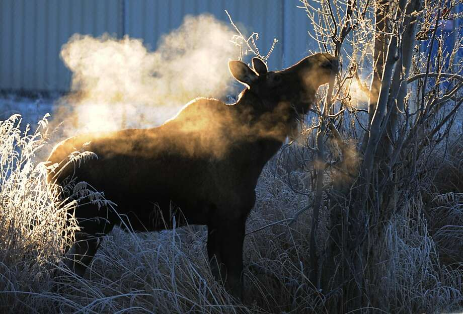 A moose partakes of a frosty feed along Lake Hood Drive Monday afternoon Nov. 26, 2012 at Ted Stevens Anchorage International Airport in Anchorage, Alaska. Photo: Erik Hill, Associated Press
