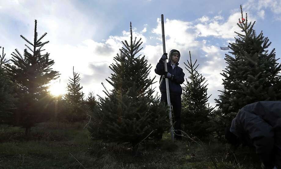 Steve Schnell, of Boston, holds a measuring stick as he and his friends choose a Christmas tree at Turkey Hill Farm in Haverhill, Mass. Monday, Nov. 26, 2012. Photo: Elise Amendola, Associated Press
