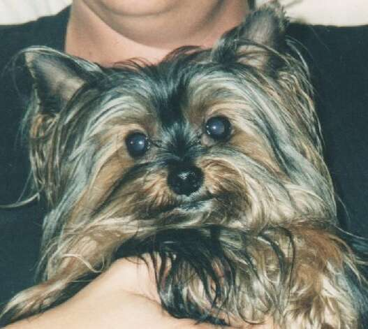 Yorkshire Terrier Kidney Failure Theft of assistance do...