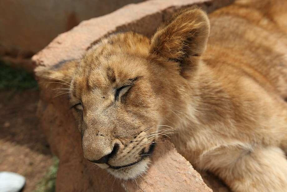 I can sleep ANYWHERE!A wall for a pillow? Not a problem. (Nature reserve near Johannesburg.) Photo: Jon Gambrell, Associated Press