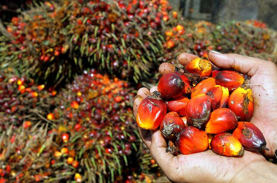 Palm oil fruits at a plantation in Medan, North Sumatra province, Indonesia. Millions of acres of forest have been cleared to create palm oil farms. Photo: Atar, AFP/Getty Images