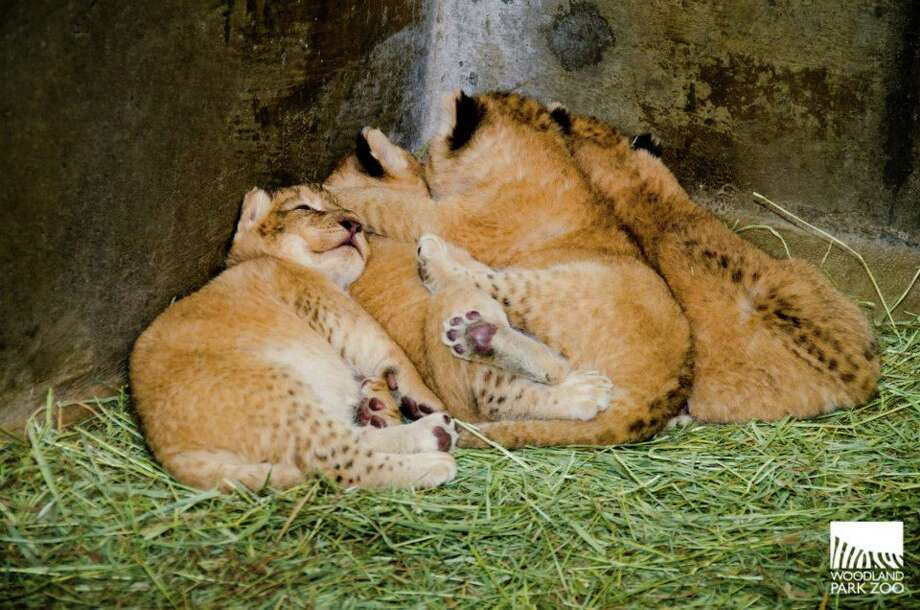 Playing footsies in the lion den. The babies are the first lion cubs born at Woodland Park Zoo since 1991. (Photo: Ryan Hawk/Woodland Park Zoo).