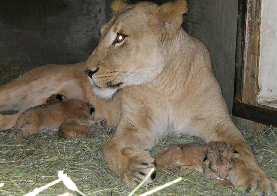 Mother Adia is shown in early November with some of the new lion cubs. (Pam Cox / Woodland Park Zoo)