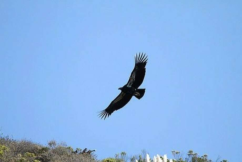 Along the Big Sur coast, pull off Highway 1 just south of Nepenthe Restaurant beginning in late morning, and look for condors cruising the coastline. Photo: Ventana Wildlife Society