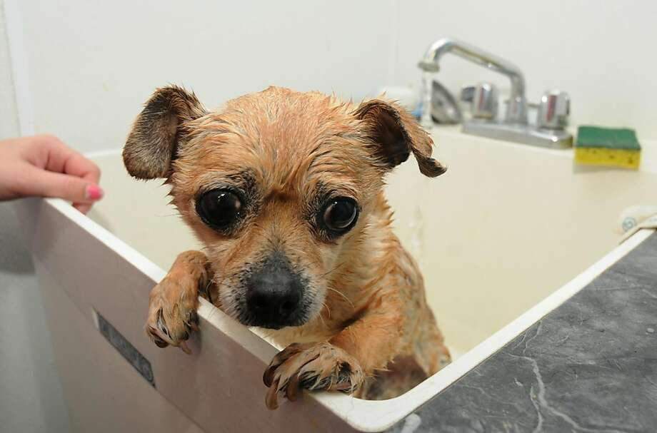 I suppose you're going to blame ME for the hairball in the drain: Cheer up, Jefferson. Your bath at the Two By Two Animal Hospital in Berrien Springs, Mich. is just about over. Photo: Don Campbell, Associated Press