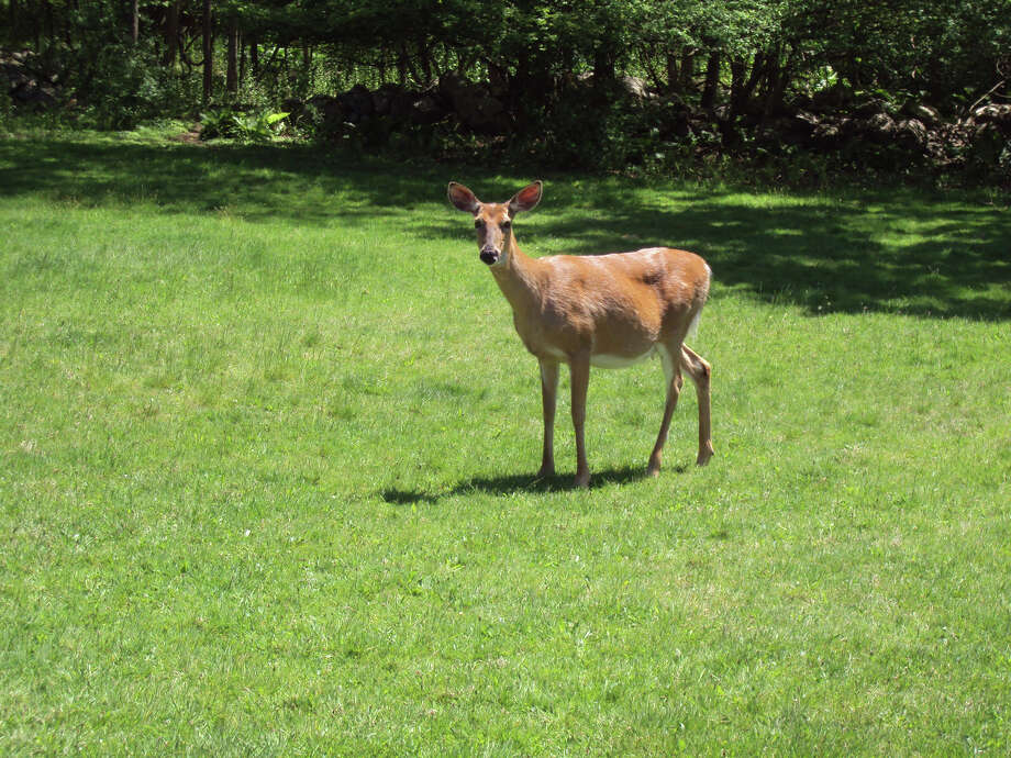 A deer stands on the grass of the Huguette Clark estate at 104 Dans Highway, New Canaan, Conn. The property is on the market for $15.9 million. A wildlife rescue non-profit would like to buy it and preserve the open space. Photo: Contributed