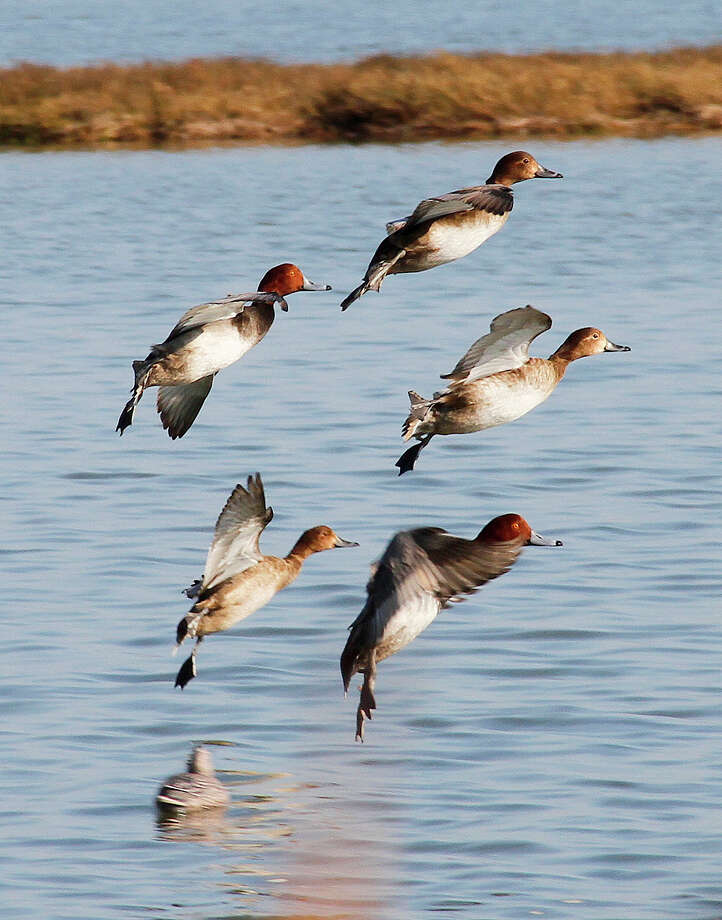 Five redheads drop into the decoys around a Port Bay Hunting and Fishing Club duck blind. The big diving ducks have been a mainstay for Port Bay Club waterfowlers since the club began operatiion in 1912. Photo: Picasa, Shannon Tompkins/Chronicle