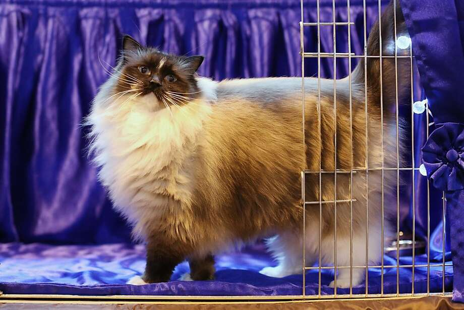 Cat lovers from all ends of the British Isles gathered recently in Birmingham, England, for the Governing Council of the Cat Fancy's Supreme Championship Cat Show. More than 1,000 cats, including handsome Bleugems Believe-in-me (above), were entered in hopes of being named Supreme Cat in the categories of Persian, Semi-Longhair, British, Foreign, Burmese, Oriental and Siamese. Check out some of the classier contestants! Photo: Oli Scarff, Getty Images