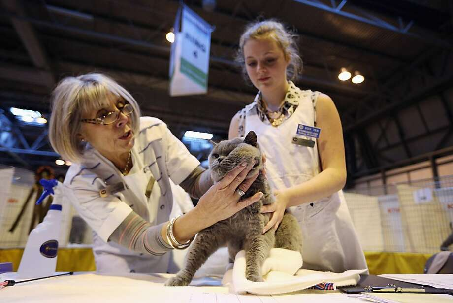 Judging at the Supreme Championship Cat Show apparently includes checking lymph nodes. Photo: Oli Scarff, Getty Images