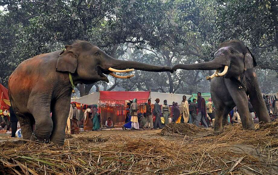 I wanna hold your trunk: Two elephants reach out to each other at the Sonepur cattle fair in the Saran district of Bihar, India. Could this be love? Photo: Aftab Alam Siddiqui, Associated Press