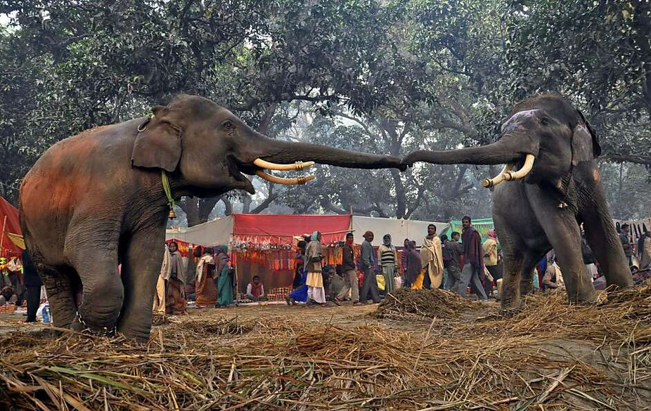 I wanna hold your trunk: Two elephants reach out to each other at the Sonepur cattle fair in