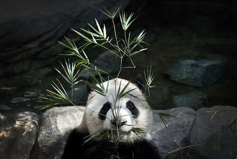 Can't see me because I'm hiding behind a tree: Shy Kai Kai takes cover during the grand opening of River Safari's Giant Panda Forest in Singapore. Photo: Wong Maye-E, Associated Press