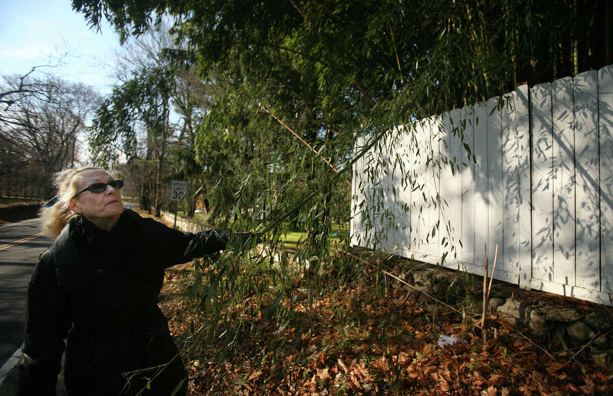 Priscilla Weadon checks out an expanding grove of bamboo, crossing a stone wall and fence, on Greens Farms Road in Westport on Wednesday, November 28, 2012.