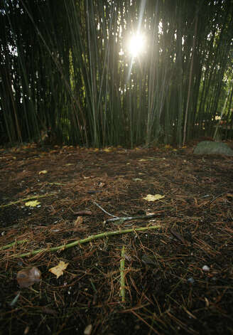 A stand of bamboo sends out rhizomes as it expands across a property in Westport on Wednesday, November 28, 2012. Photo: Brian A. Pounds / Connecticut Post